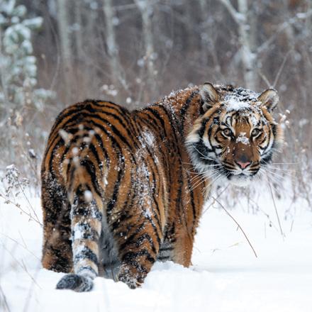 pica-partner-tijger